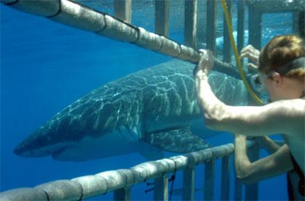 Nuotare con gli squali in africa del sud farsi il bagno - Bagno con gli squali sudafrica ...
